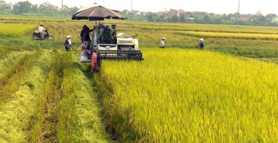 Lúa Xuân đầu vụ được mùa, trúng giá